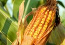 EMS 2017: Probabilistic forecast of major arable crops