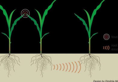 Plants can use underground communication